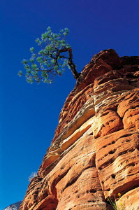 N-0801 Pine tree growing from sandstone cliff, Zion NP, Utah, USA. - Aflo
