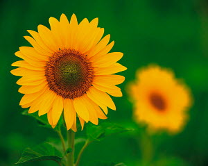 N-17405 Sunflower {Helianthus annuus}  -  Aflo