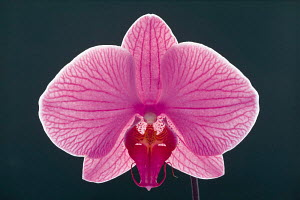 N-18504 Orchid flower close up  {Orchidaeceae} SALE IN UNITED KINGDOM ONLY - Aflo
