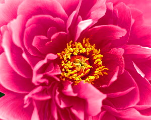N-18507 Peony flower close up {Paeonia sp} SALE IN UNITED KINGDOM ONLY  -  Aflo