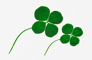N-2309 Four leaf clover leaves {Trifolium sp}  -  Aflo