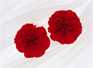 N-19901 Two red Carnations {Dianthus sp}  -  Aflo