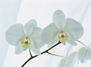 N-20005 White Orchid flowers - Aflo