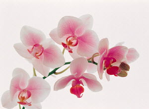 N-20006 Pink Orchid flowers - Aflo
