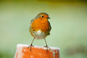 Robin perched on flowerpot (Erithacus rubecula) Wiltshire, UK - TJ Rich