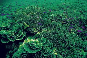N-11407 Underwater coral reef landscape with tropical fish, Malaysia. Indo Pacific - Aflo
