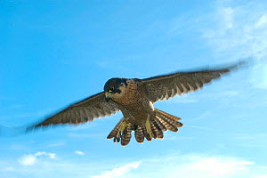 Peregrine falcon in flight {Falco peregrinus} Captive, England, UK. Peregrines have been recorded at speeds of 217mph in an attack dive - more than nine times the maximum speed of a human (27mph). Per... - Mark Payne-Gill