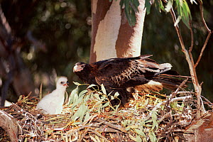 Wedge-tailed eagle at nest with chick {Aquila audax} New South Wales, Australia - Dave Watts