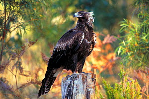 Wedge-tailed eagle {Aquila audax fleayi} tasmanian sub species, adult portrait, Australia  -  Dave Watts