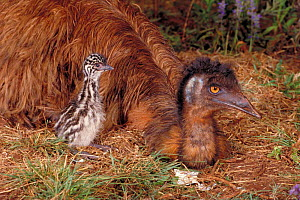 Emu on nest with young chick {Dromaius novaehollandiae} Australia  -  Dave Watts