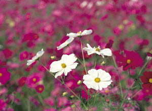N-18204 White Cosmos flowers against background of pink, Japan. - Aflo