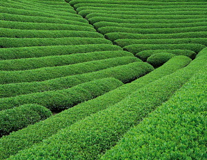N-19208 Field of Tea plants, Japan. - Aflo