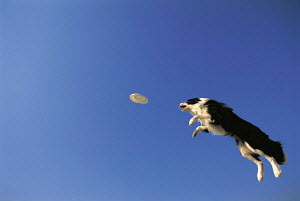 ic-04105 Border collie dog leaping for frisbee - Aflo
