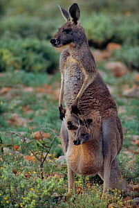 Female Red kangaroo with joey in pouch {Macropus rufus} Sturt NP, New South Wales, Australia  -  Owen Newman