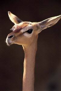 ic-06701 Gerenuk head and neck portrait {Litocranius walleri}  -  Aflo