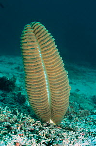 Sea pen {Pteroeides sp} Sangalaki, Indonesia - Georgette Douwma