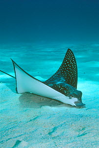 White spotted eagle ray {Aetobatus narinari} searches for food buried in sand. Red Sea  -  Georgette Douwma
