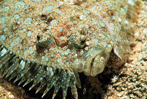 Panther flounder, close-up of face {Bothus pantherinus} Vavau, Tonga, Indo Pacific  -  Georgette Douwma