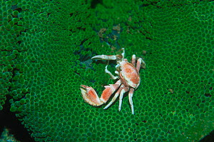 Porcelain crab {Neopetrolisthes maculatus} on sea anemone. Milne Bay, Papua New Guinea - Georgette Douwma