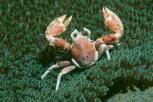 Porcelain crab {Neopetrolisthes maculatus} on anemone. Milne Bay, Papua New Guinea - Georgette Douwma
