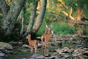ic-07004 Fallow deer mother + fawn at woodland stream {Dama dama}  -  Aflo
