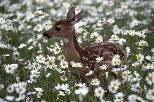 ic-07005 Fallow deer fawn in field with white  flowers {Dama dama} - Aflo