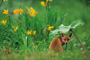 ic-07303 Japanese red fox cub / Kitsune sitting under leaf {Vulpes vulpes japonica} Japan  -  Aflo