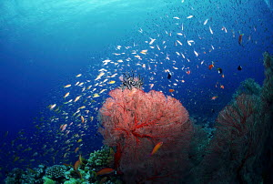 ic-08802 Coral reef landscape with Sea fan and fish, Iriomote island, Japan. - Aflo