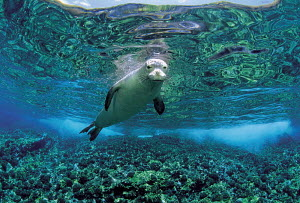 ic-09002 Hawaiian monk seal swimming underwater {Mirounga angustirostris} Hawaii  -  Aflo