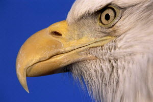 ic-17711 American bald eagle close-up profile of beak and eye {Haliaeetus leucocephalus}  -  Aflo