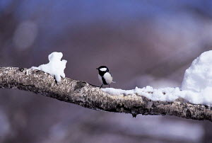 ic-10103 Great tit perched on branch in snow {Parus major} Japan.  -  Aflo
