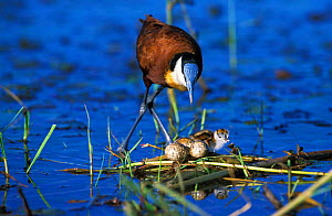 Male African jacana caring for chick and eggs {Actophilornis africana} Chobe NP, Botswana - Tony Heald