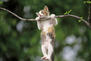 ic-02602 Young domestic kitten hanging off branch {Felis catus}  -  Aflo