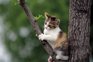 ic-02703 Young domestic kitten playing in tree {Felis catus} - Aflo