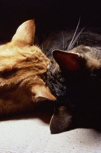 ic-02801 View of heads of two domestic cats sleeping close together {Felis catus}  -  Aflo