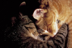 ic-02802 Two domestic cats sleeping with heads close together {Felis catus}  -  Aflo