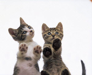 ic-02804 Two cute domestic kittens standing with paws against window {Felis catus}  -  Aflo