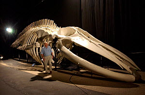 Sir David Attenborough next to Blue whale skeleton during filming for 'Life of Mammals', 2002. Santa Barbara, USA  -  Neil Lucas