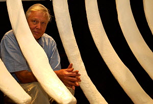 Sir David Attenborough by Blue whale skeleton on location  for 'Life of Mammals', 2002 Santa Barbara, USA  -  Neil Lucas
