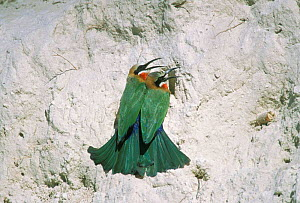 White fronted bee-eater pair at nest hole in bank {Merops bullockoides} Chobe NP, Botswana - Sharon Heald