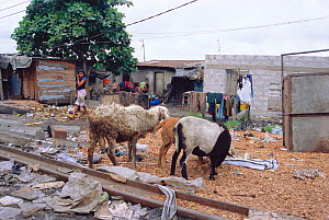 Street scene with scavenging goats in the Bidonville slums of Lagos, Nigeria, West Africa 2002 - Fabio Liverani