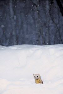 ic-07801 Japanese weasel coming out of hole in snow {Mustela itatsi} Japan.  -  Aflo