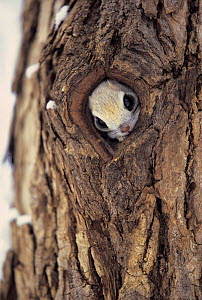 ic-07901 Small japanese flying squirrel peeping out of hole in tree trunk {Pteromys momonga} Japan. - Aflo