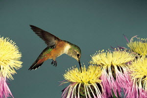 ic-10202 Rufous humming bird feeding from flower {Selasphorous rufus} USA.  -  Aflo