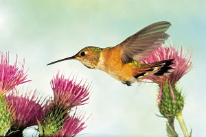 ic-10301 Rufous hummingbird hovering in flight at flower {Selasphorousrufus} USA.  -  Aflo