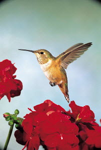ic-10304 Rufous humming bird hovering in flight at flower {Selasphorousrufus} USA.  -  Aflo