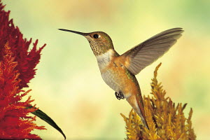 ic-10305 Rufous hummingbird hovering in flight  at flower {Selasphorous rufus} USA.  -  Aflo