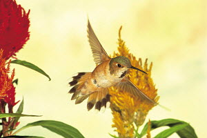 ic-10303 Rufous hummingbird in flight {Selasphorous rufus} USA.  -  Aflo