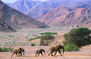 RF- African elephant family (Loxodonta africana) crossing desert landscape. Namibia, Kaokoland. Endangered species. (This image may be licensed either as rights managed or royalty free.) - Tony Heald