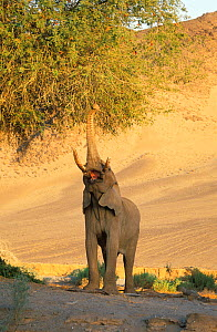 RF- African desert elephant (Loxodonta africana) reaching up with trunk to feed. Kaokoland, Namibia. Endangered species. - Tony Heald